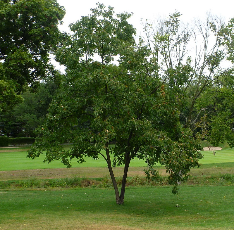 Persimmon tree planted by my father, eleventh hole, Kansas City Country Club, September 28, 2013.