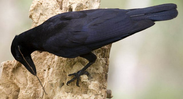 Grackle and tool